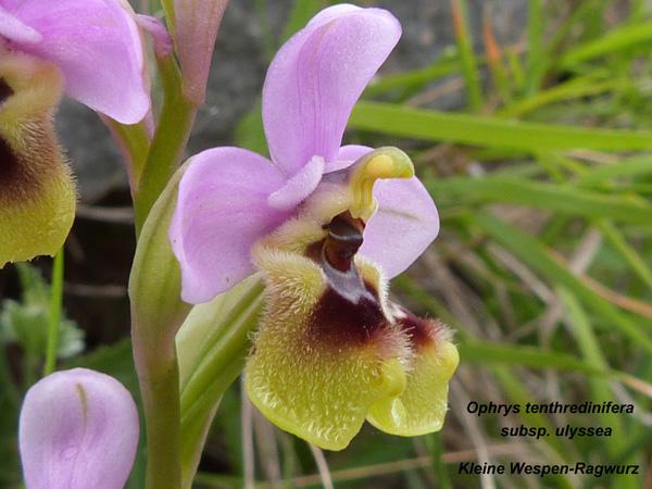 Ophrys tenthredinifera susp. ulyssea - Kleine Wespen Ragwurz