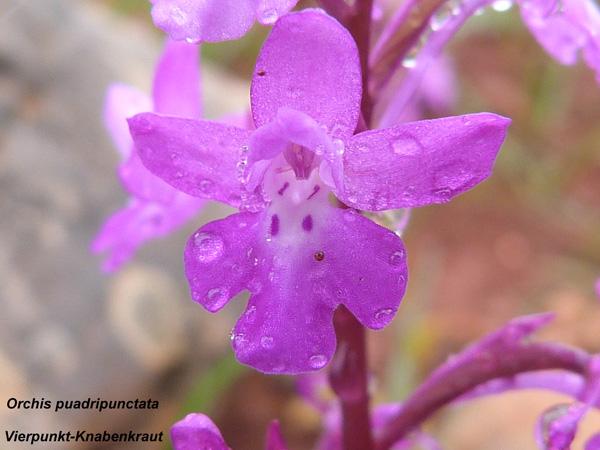 Orchis puadripunctata - Vierpunkt-Knabenkraut