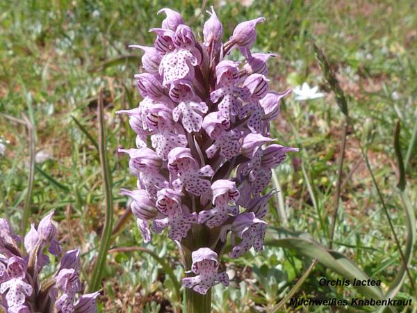Orchis lactea - Milchweißes Knabenkraut