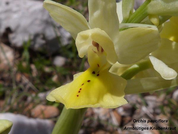 Orchis pauciflora - Armblütiges Knabenkraut