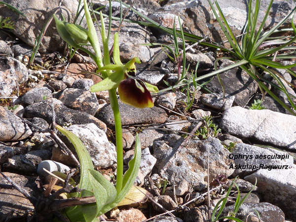 Ophrys aesculapii - Äskulap Ragwurz