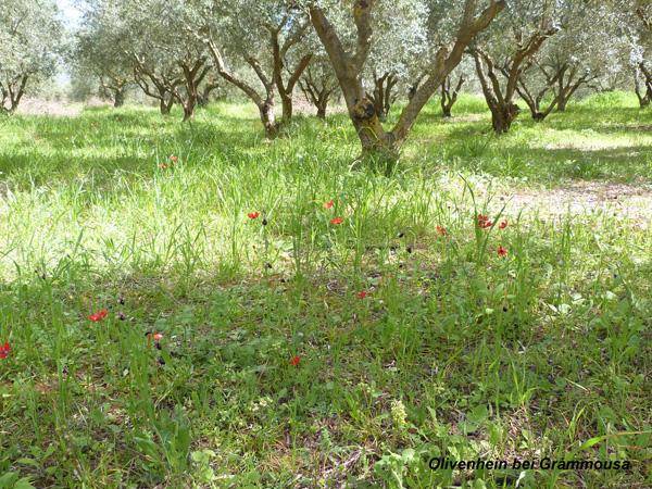 Olivenhain bei Grammousa