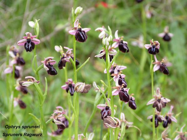 Ophrys spruneri - Spruners Ragwurz