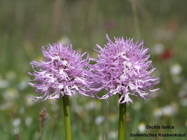 Orchis italica - italienisches Knabenkraut
