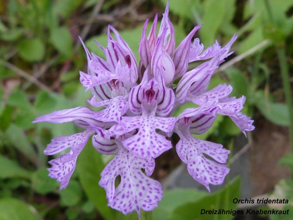 Orchis tridentata - Dreizähniges Knabenkraut