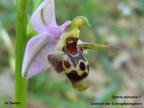 Ophrys Minutula ? - Unterart der Schnepfenragwurz